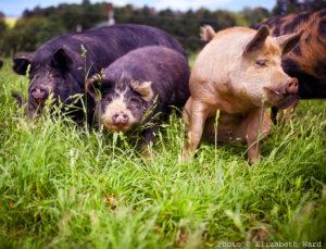 Idaho Pasture Pigs – White Bison Farm
